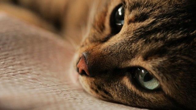 kedi-yeux-chat